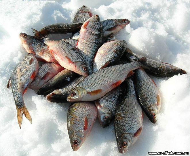 как ловить сорожку зимой на пруду